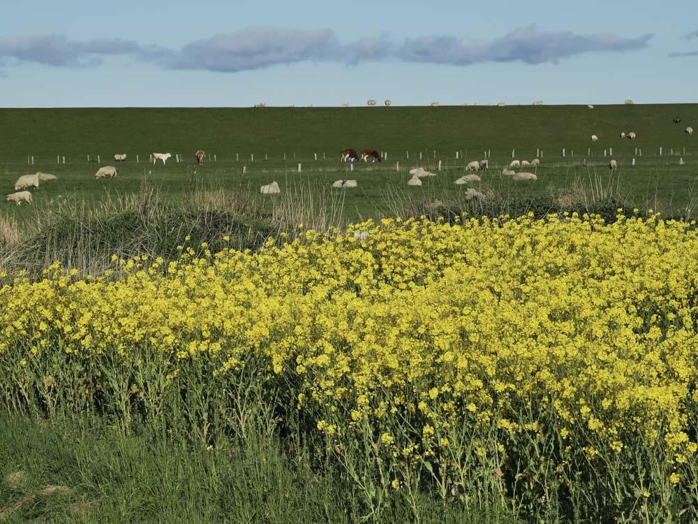Deich_Schafe-gelbe-Blumen-Kuehe