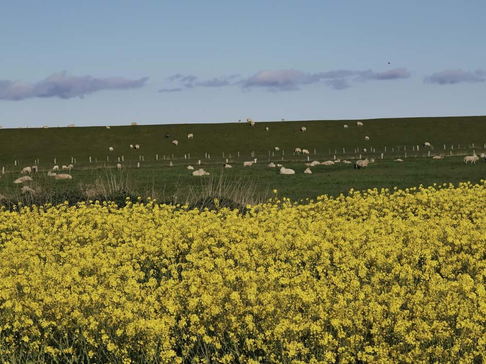 Deich_Schafe-gelbe-Blumen