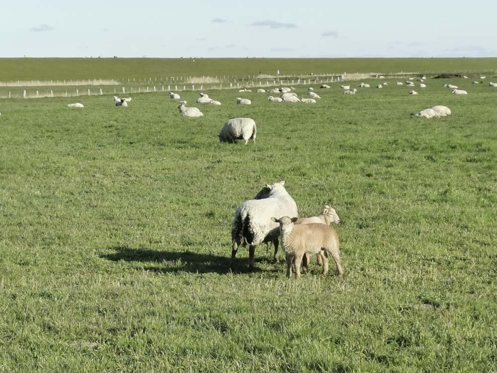 viele-Schafe-Deich